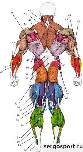 мышцы со спины в бодибилдинге