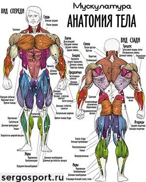 атлас мышц в бодибилдинге