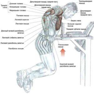 отжымание на брусьях для мышц грудной клетки