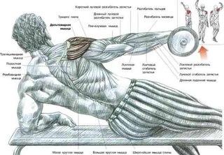 упражнение для развития мышц плечевого пояса