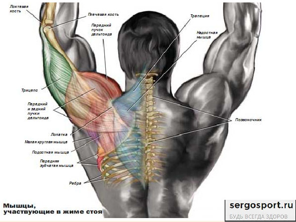 швунги со штангой рабочие мышцы