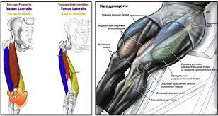 анатомия мышц квадрицепс