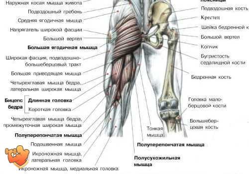 фото анатомия мышц ног