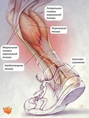 икроножные мышцы человека