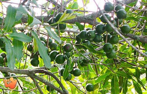 фото дерево Макадамия орех полезные свойства