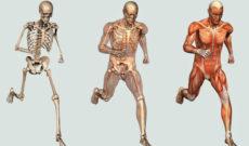 Сколько может весить скелет взрослого человека