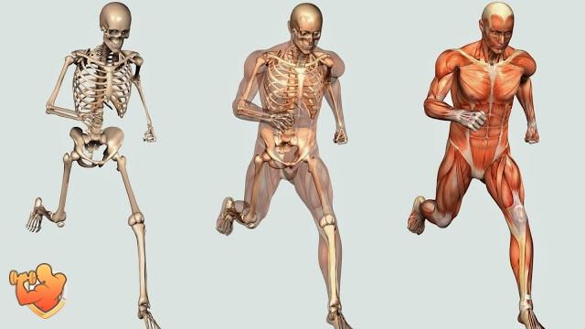 ckolyko mozet vesity skelet
